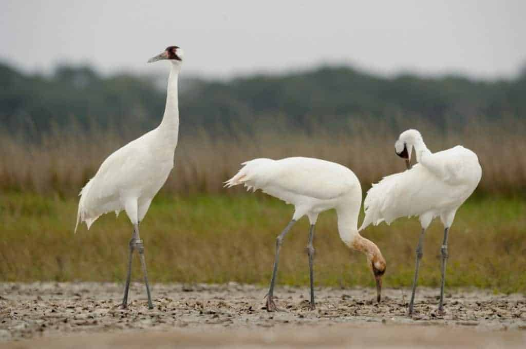Drought Threatens Flock of Whooping Cranes