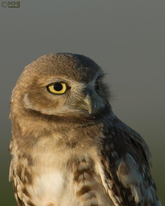 Juvenile Burrowing Owl (Athene cunicularia) Portrait ~ Davis County, Utah