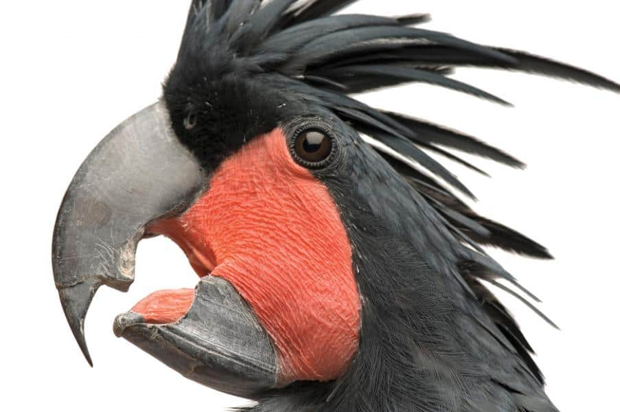 Bird Smuggler Busted in Sumatra