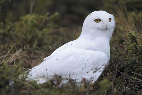 """Snowy Owl """"irruption"""" in North America"""