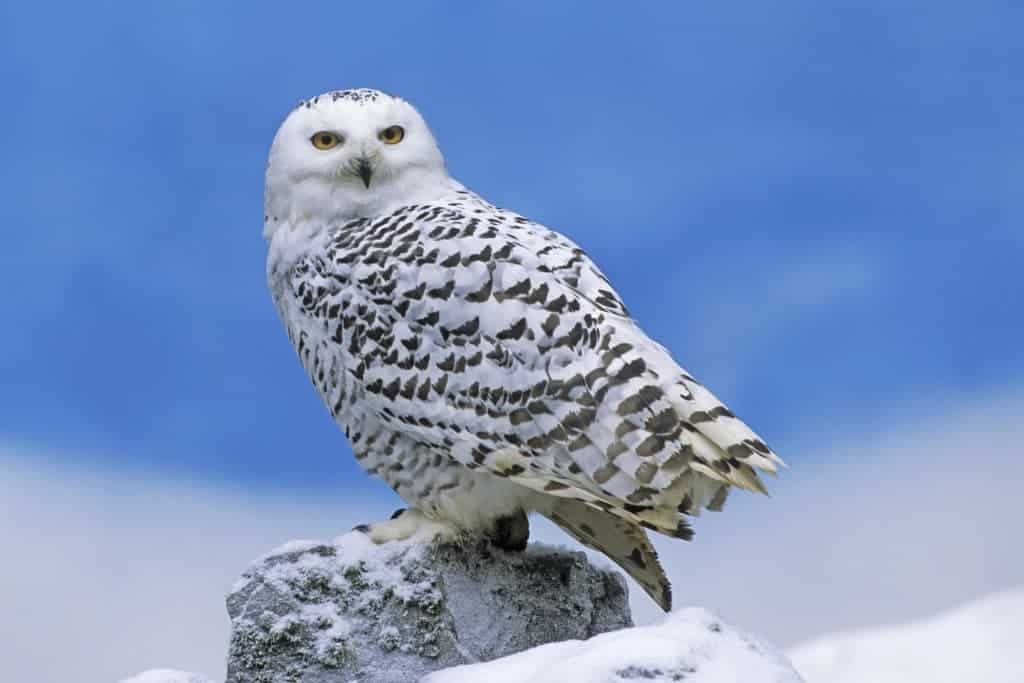 Snowy Owls to Be Trapped Instead of Shot at New York Area Airports