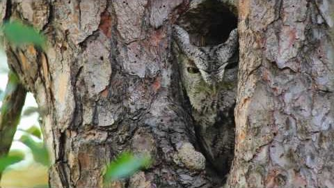 The Distinctive Calls of Owls