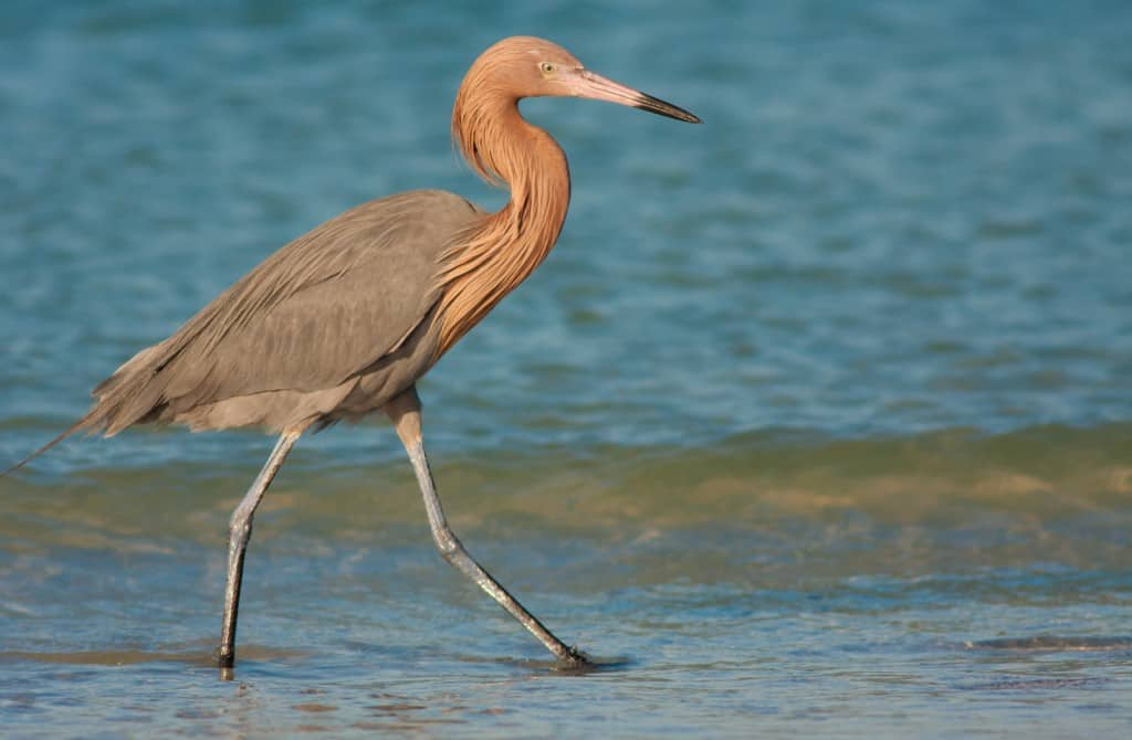 Reddish Egrets in Florida