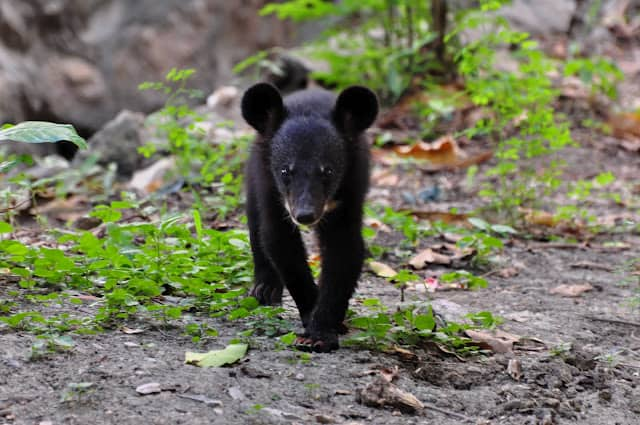 POLL: Should the Black Bear Harvest Season In Wisconsin