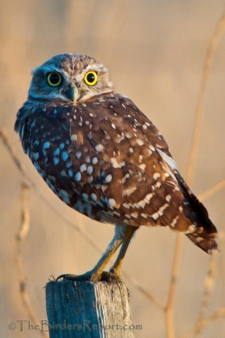 California's Largest Burrowing Owl Population Is in Rapid Decline
