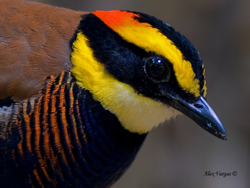 Banded Pitta - male - portrait by Alex Vargas