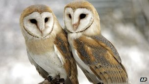 Barn owl numbers in Scotland have declined in recent years