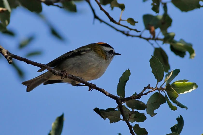 Feisty Firecrests of the Forest