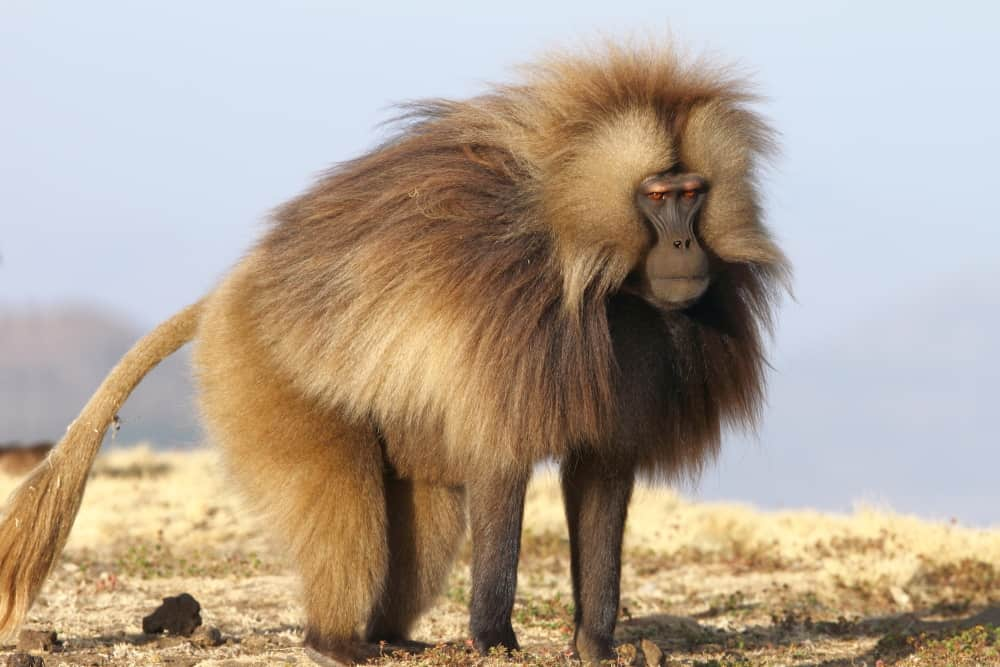 The Geladas of Ethiopia by Adam Riley