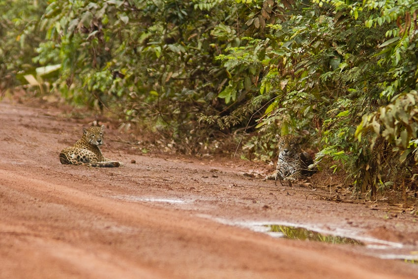 Jaguar in Iwokrama, Guyana 19 January 2012