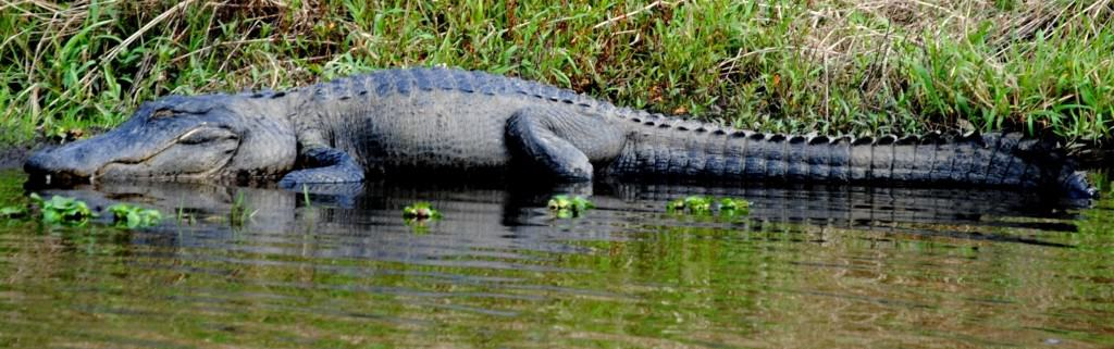 American Alligator: Back from the brink of extinction.