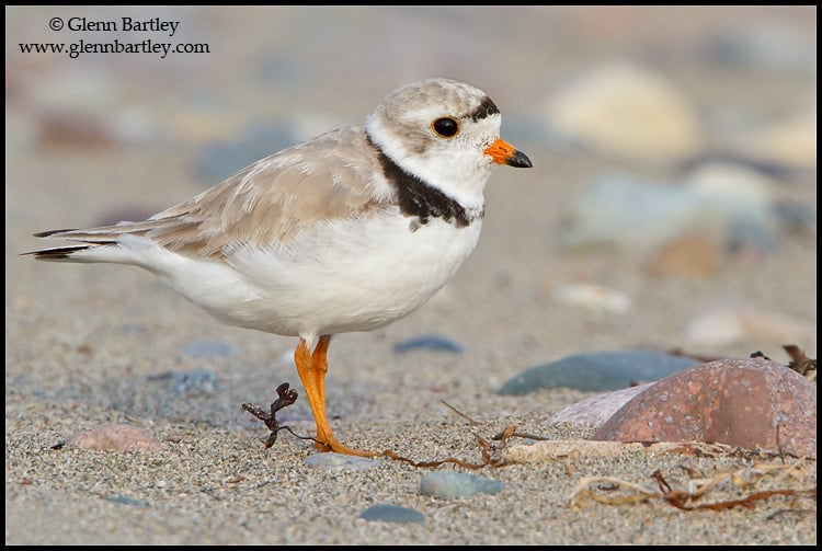 New Rule To Help Protect Endangered Piping Plovers at Cape Hatteras National Seashore