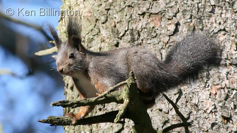 Sylvan Sanctuary for Red Squirrels and Goshawks