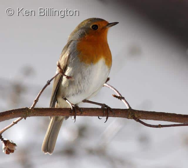 Sights and Sounds: European Robin (Erithacus rubecula)