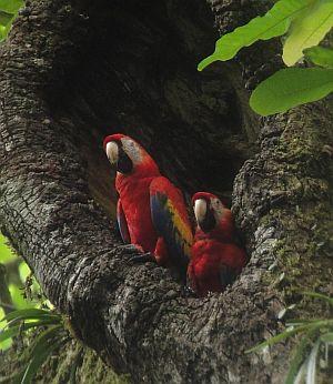 Scarlet Macaw nest Macaw Nest