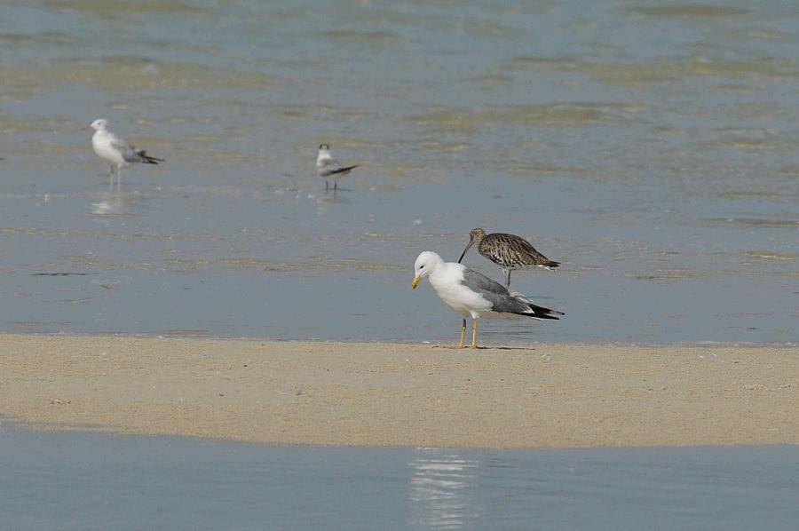 Steppe Gull (Larus fuscus barabensis) – Status & identification in Eastern Saudi Arabia