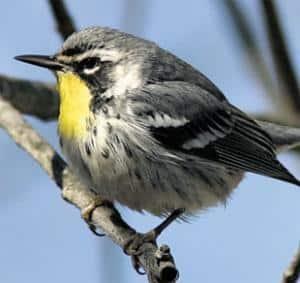 Rare bird draws thousand twitchers to Rhiwderin