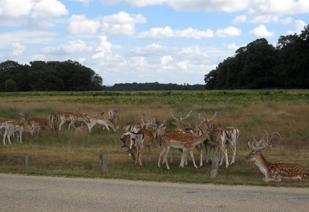 fallow deer by mari, creative commons license