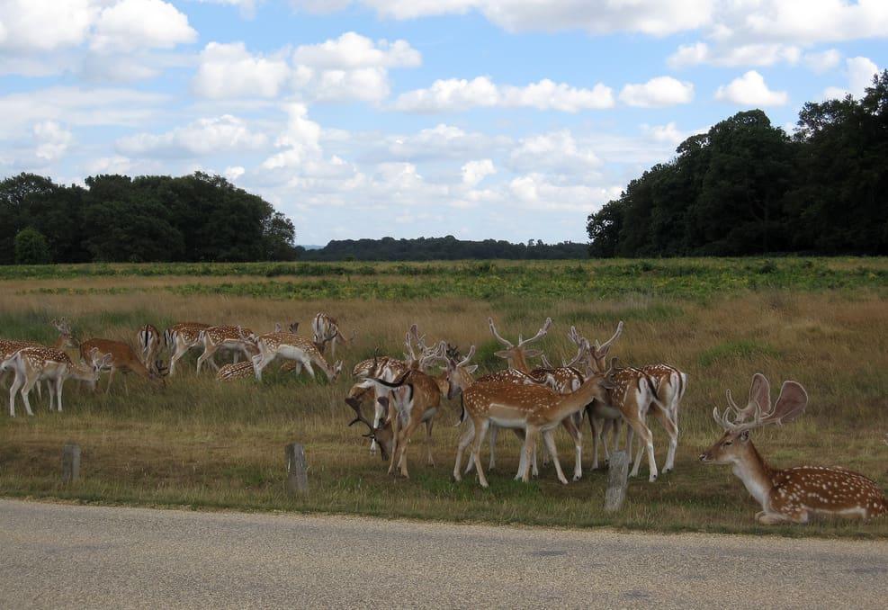 fallow deer by mari, creative commons license