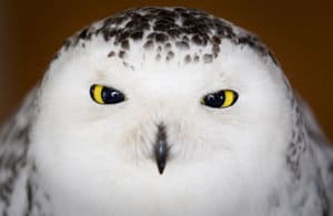Snowy owl shot, killed at Cheyenne