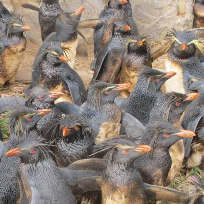 First assessment of Endangered Northern Rockhopper Penguins since 2011 oil spill