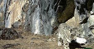 Snow Leopard Thriving in Bhutan