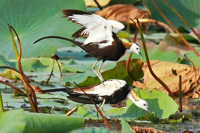 Pheasant-tailed Jacana courtship dance by Adam Riley