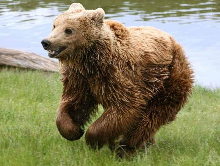 Brown bears declared extinct in Austria – Again