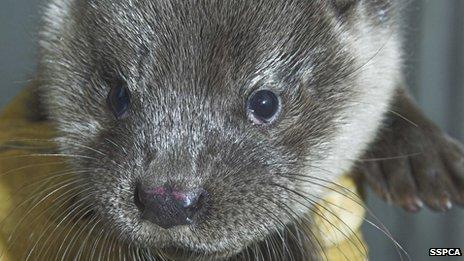Otter found in Fort William seafood restaurant
