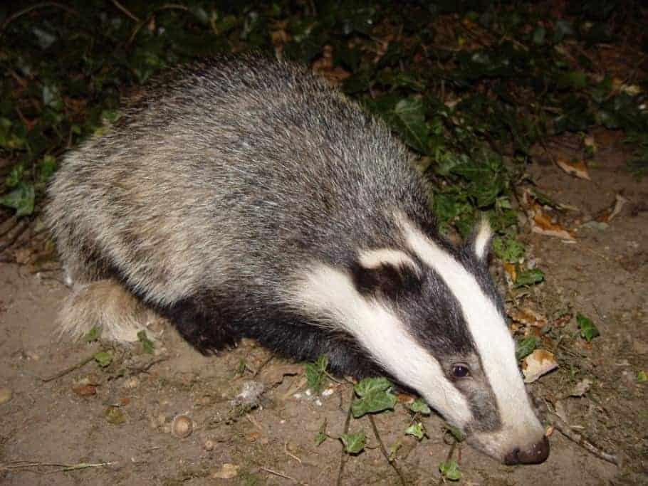 Advisers warned government on badger cull