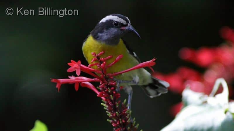 Birdsong in the Puerto Rican Rain Forest