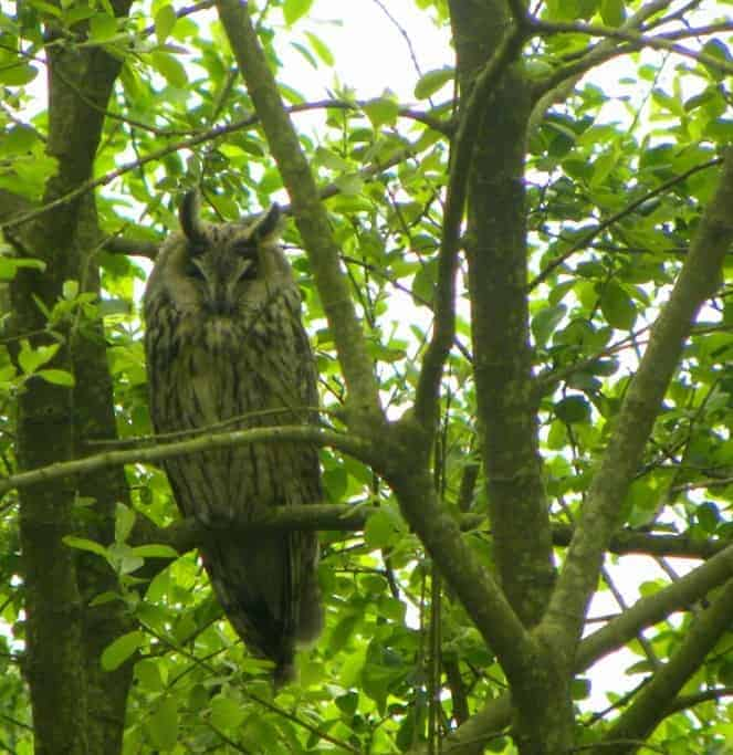 The Owl importance of Corvids