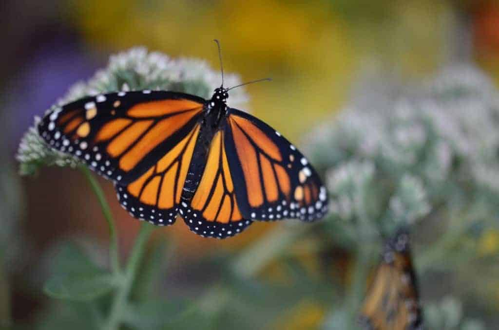 Monarch Butterflies Magical Metamorphosis Begins Anew