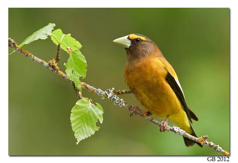 Birding in British Columbia – Evening Grosbeak (Coccothraustes vespertinus)