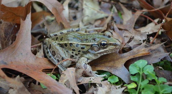 A New Species of Leopard Frog in New York City