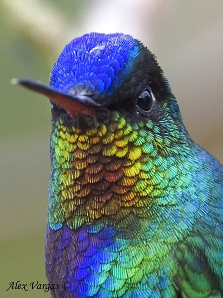 Fiery-throated Hummingbird - portrait by Alex Vargas