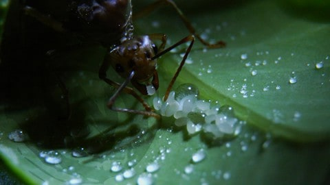 Green Queen Ant