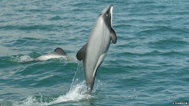 NZ dolphin survival boosted by Marine Protected Area