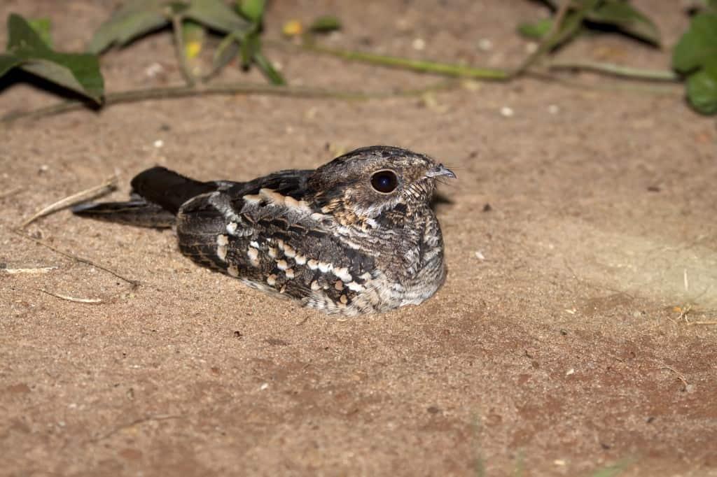 Little Nightjar / Hydropsalis parvula