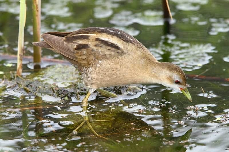 Southern Africa's first record of Little Crake