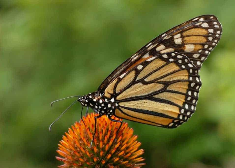 Winter migration of monarch butterflies to Mexico drops after one-year recovery