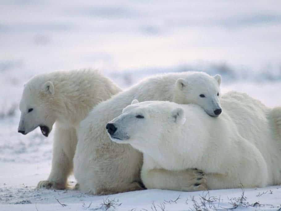 Polar Bears Can Swim Vast Distances – a potential survival skill