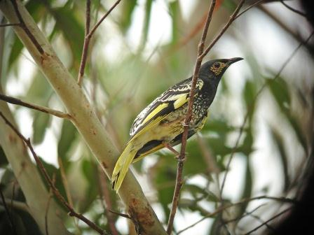 National assessment shows Australians must work abroad to save their birds