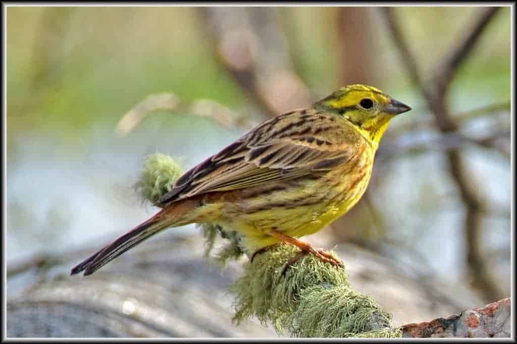 Brighter Future for Endangered Yellowhammers (Emberiza citrinella)