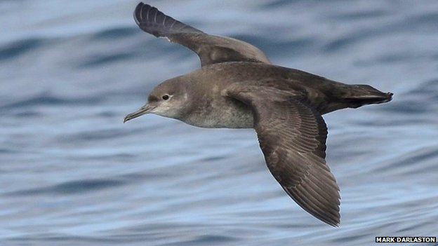 Shearwaters take 'single sex' summer holidays