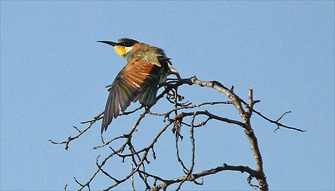 Do the Bee-eaters decimate bees?