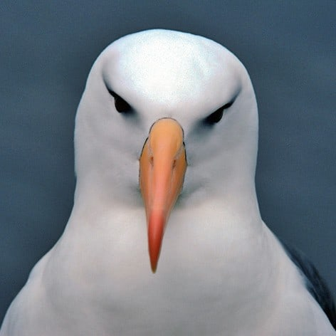 New review reveals worrying declines in the world's seabirds