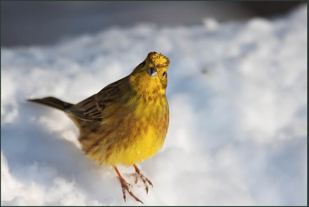 My small contribution to Yellowhammer population preservation