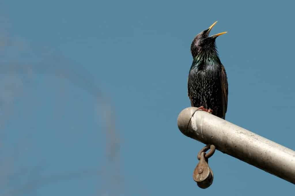 european starling by Kenny Louie, Creative Commons license
