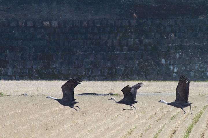 Hooded Crane | Grus monacha